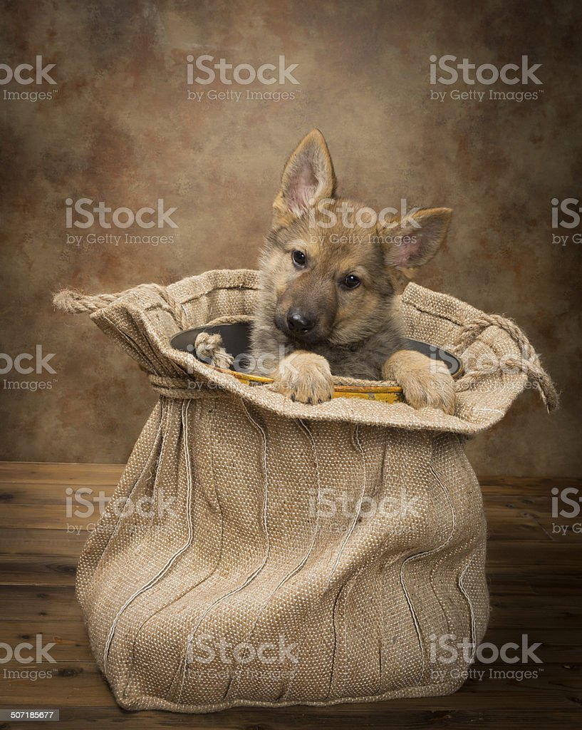 Begging shepherd puppy royalty-free stock photo