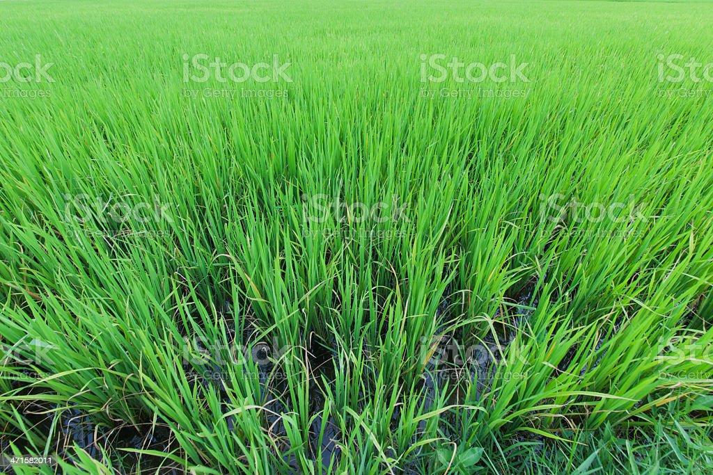 beginning  of rice green royalty-free stock photo
