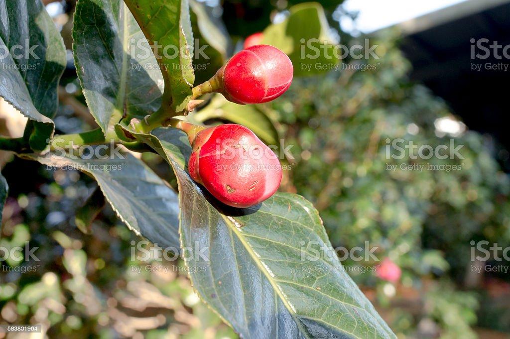 Begonia buds stock photo