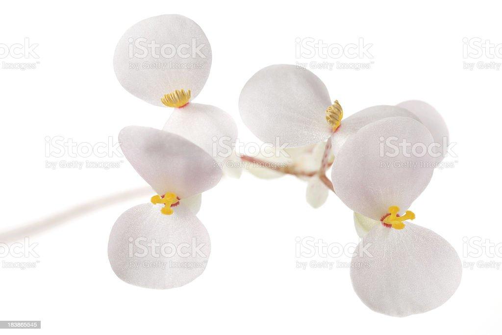 Begonia flowers stock photo