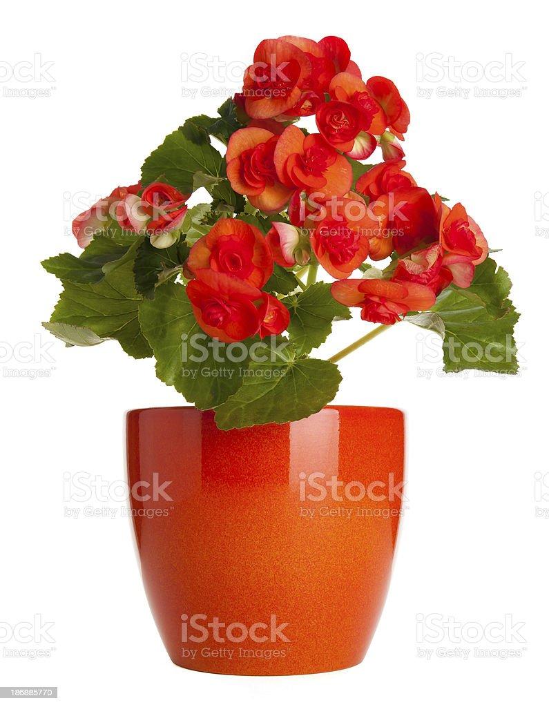 Begonia in Pot royalty-free stock photo