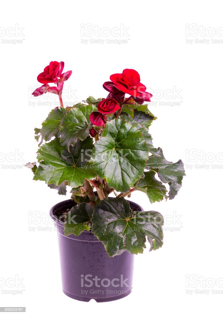 Begonia plant in pot isolated on white stock photo