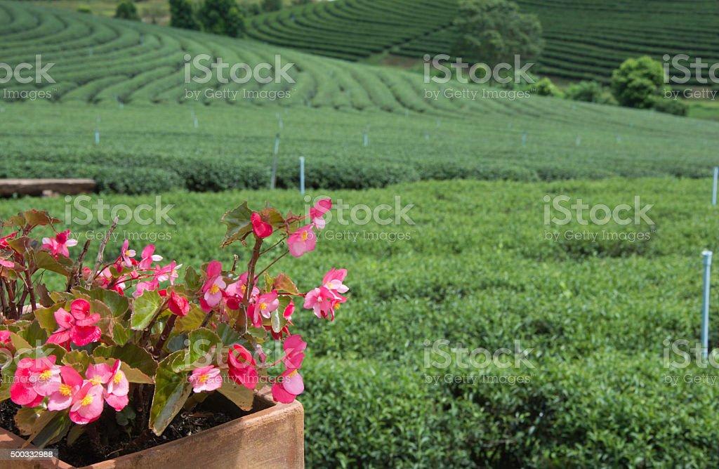 begonia with tea farm background royalty-free stock photo