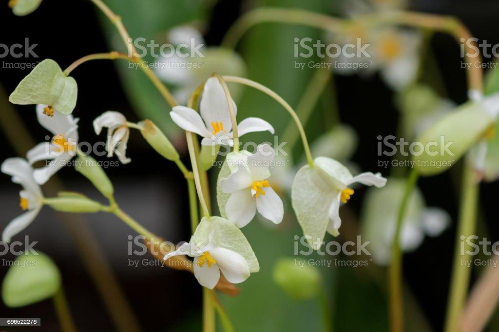 Begonia x hybrida, Baby Wing White flower with yellow stamen in Tasmania, Australia stock photo