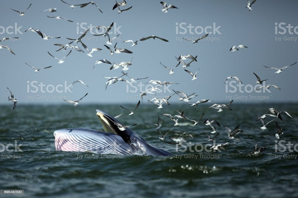 Behaviour , Bryde's Whale eat anchovy fishes under the wave and Seagull flying catch the anchovy in the sky , Phetchaburi province , gulf of Thailand stock photo
