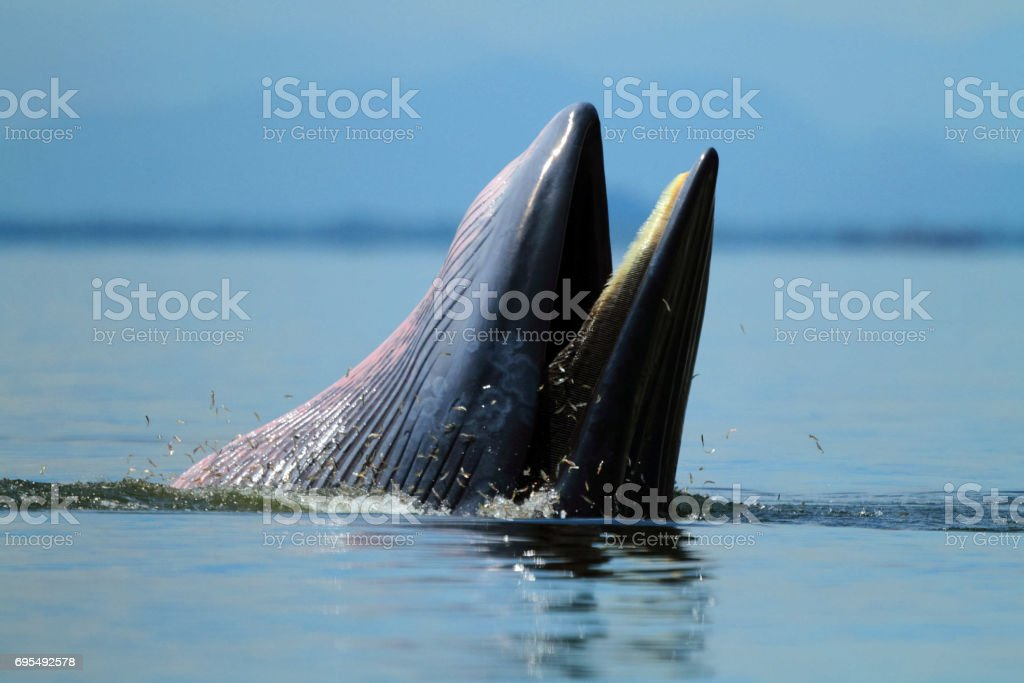 Behaviour , Bryde's Whale eat anchovy fishes under the wave  , Phetchaburi province , gulf of Thailand stock photo
