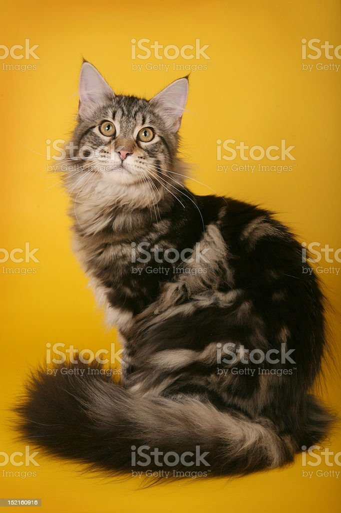 Beige and brown maine coon cat stock photo