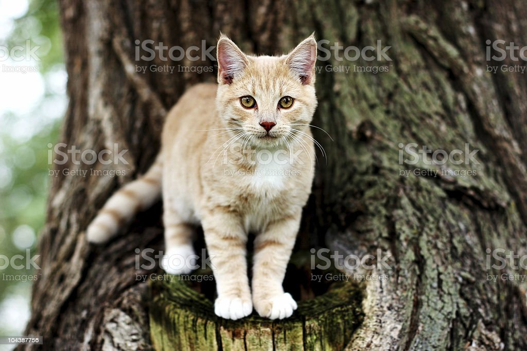 Beige and white tabby cat outdoors on a large tree royalty-free stock photo