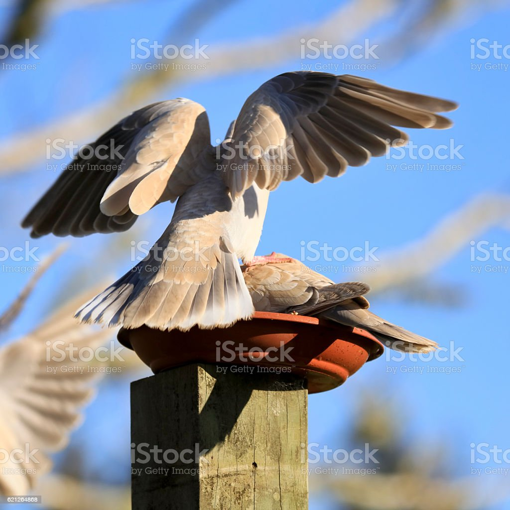 Beige coloured dove being a bully stock photo
