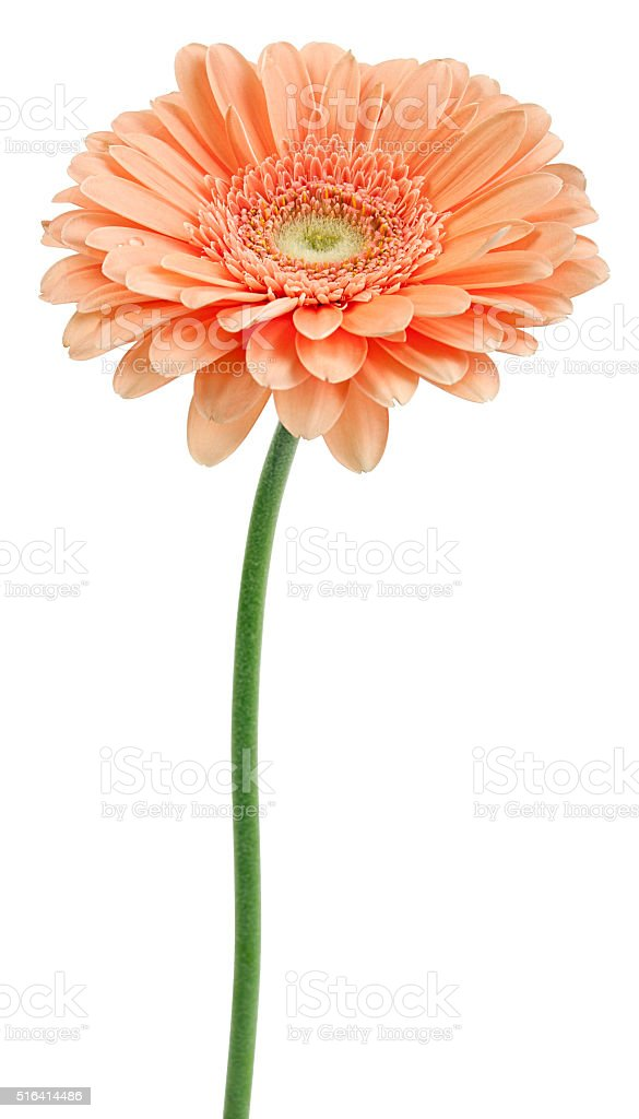 beige gerbera on a stalk stock photo