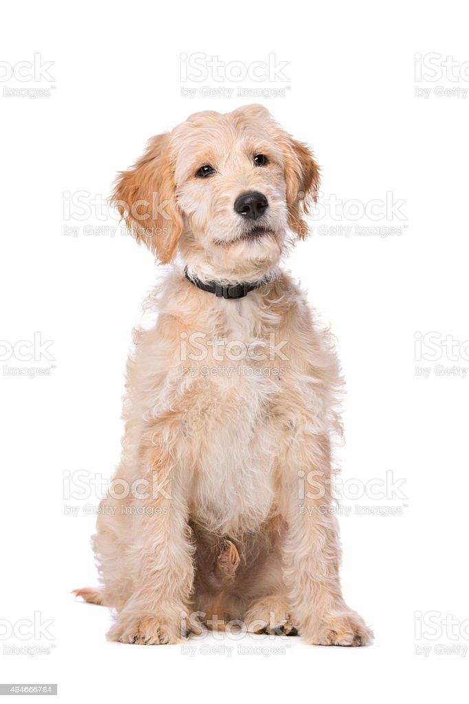 Beige Labradoodle dog stock photo