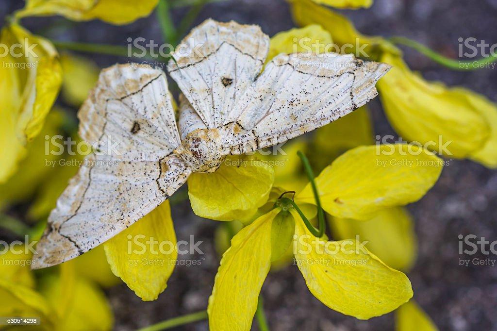 beige moth on yellow flower stock photo
