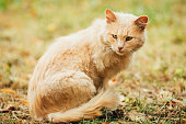 Beige Peachy Mixed Breed Domestic Adult Cat Lazy Looking Aside