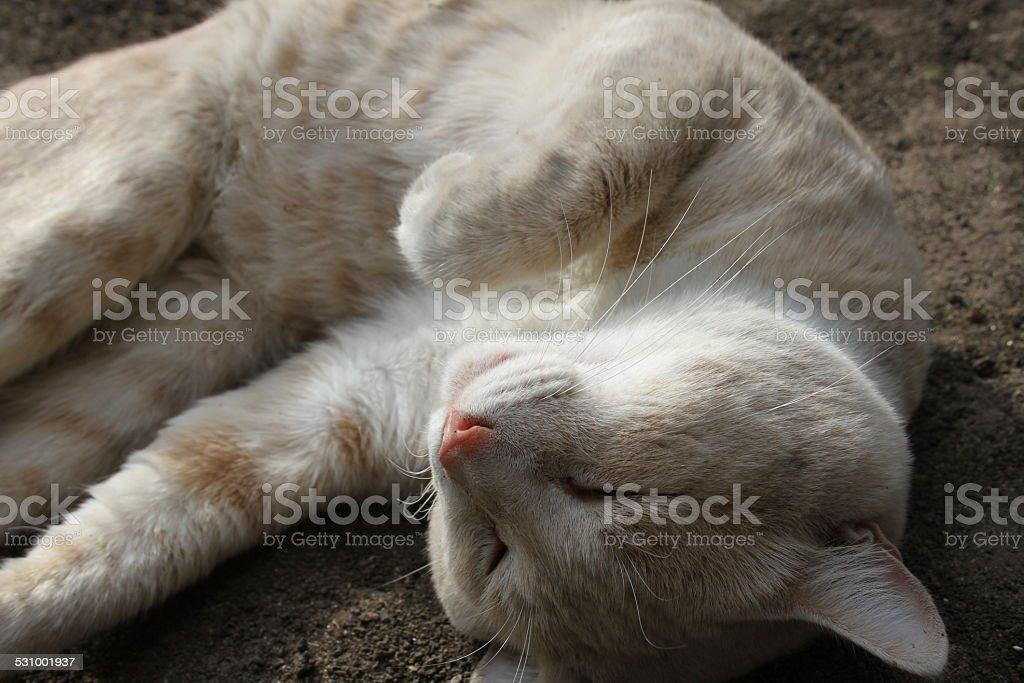 Rosa, Beige nariz Cat foto de stock libre de derechos
