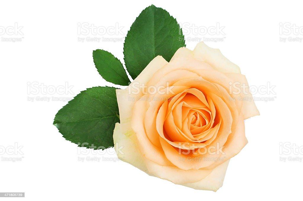 Beige rose royalty-free stock photo