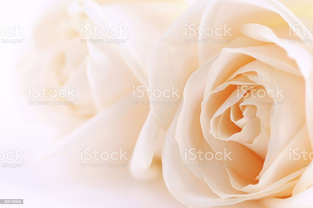 Beige roses royalty-free stock photo