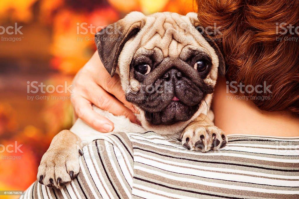 Beige sleepy puppy pug sitting on shoulder of owner. Closeup stock photo