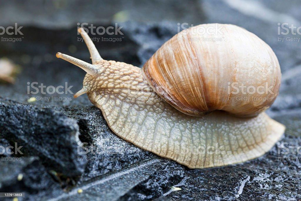 Beige snail climbing on a black rock stock photo