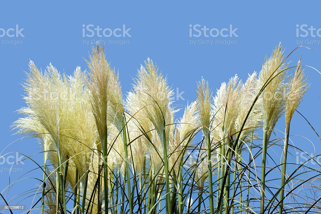 Beige wisps of grass on the blue sky background. stock photo