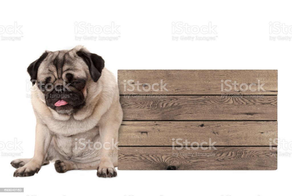 being fed up pug puppy dog sitting down next to blank wooden sign stock photo