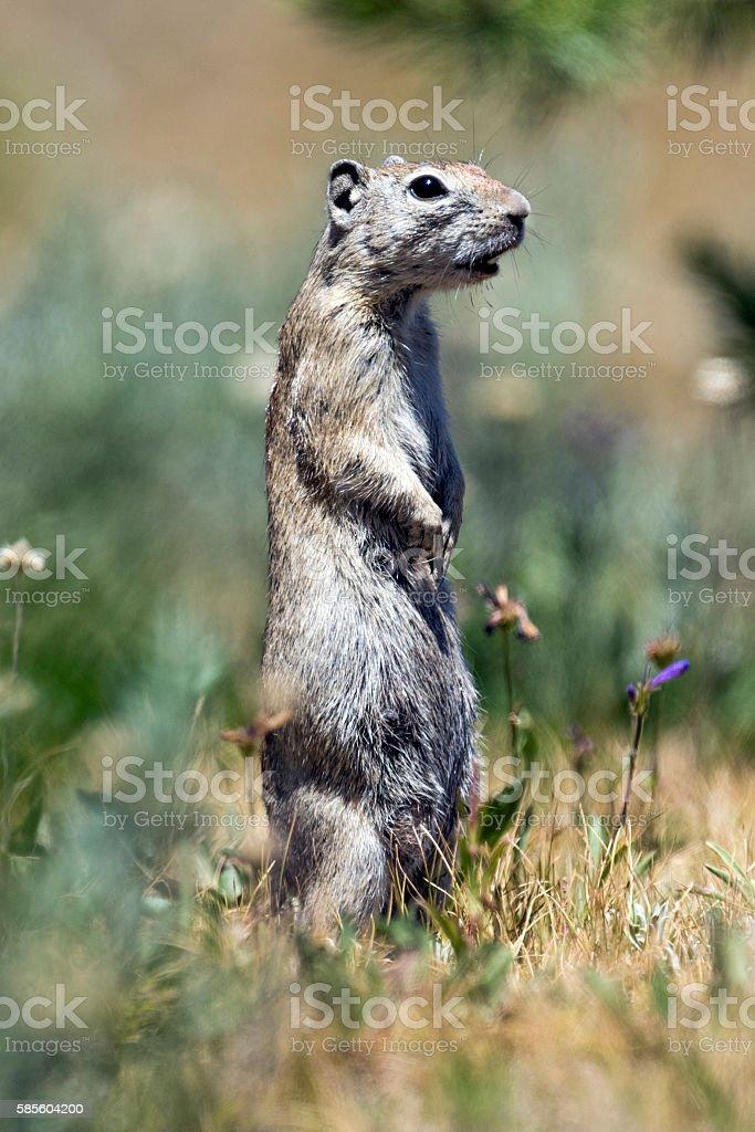 Belding's Ground Squirrel Female in Tuolumne Meadows stock photo