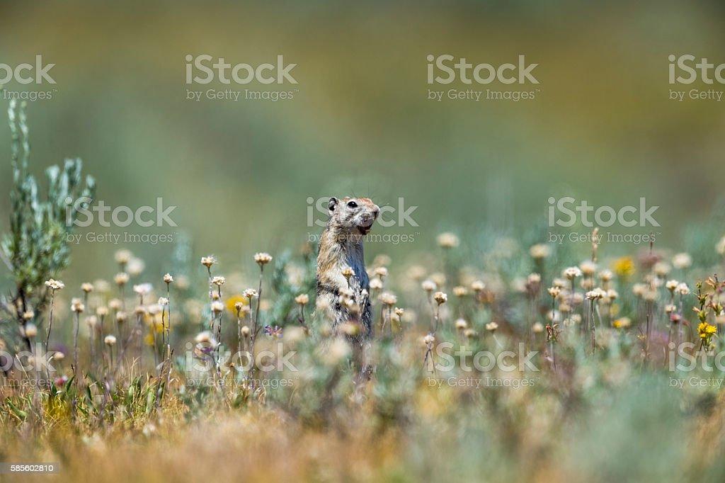 Belding's Ground Squirrel In Tuolumne Meadows stock photo