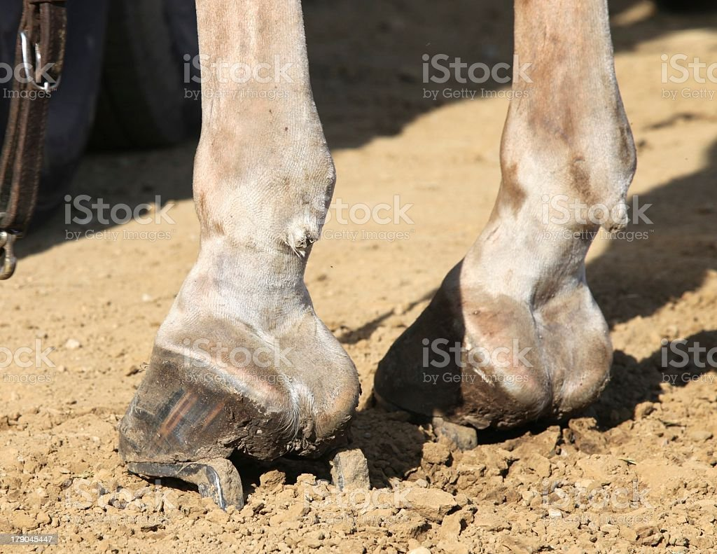 Belgian Draft Horse hoof close-up showing horseshoes. royalty-free stock photo
