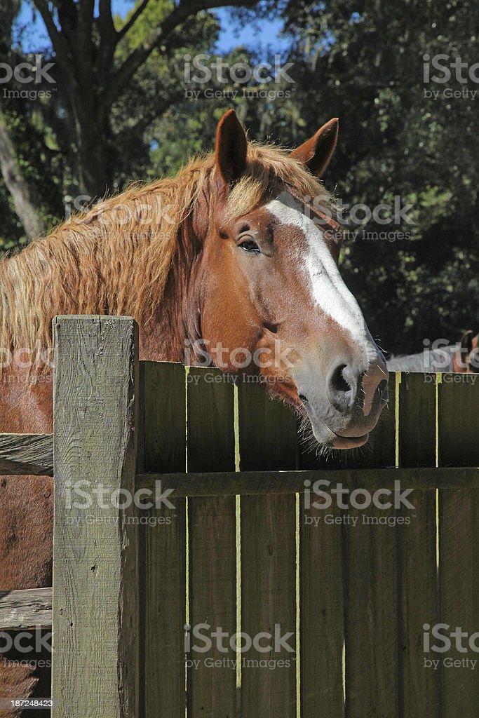 Belgian Draft Horse stock photo
