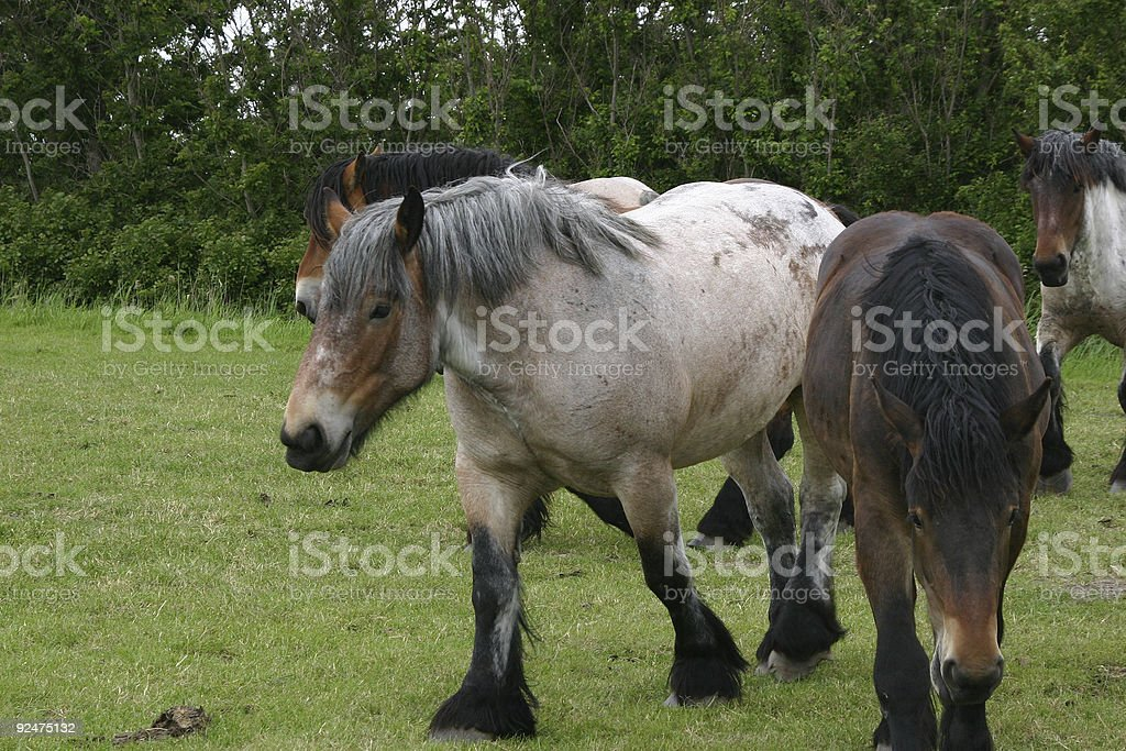 Belgian Draft horses royalty-free stock photo