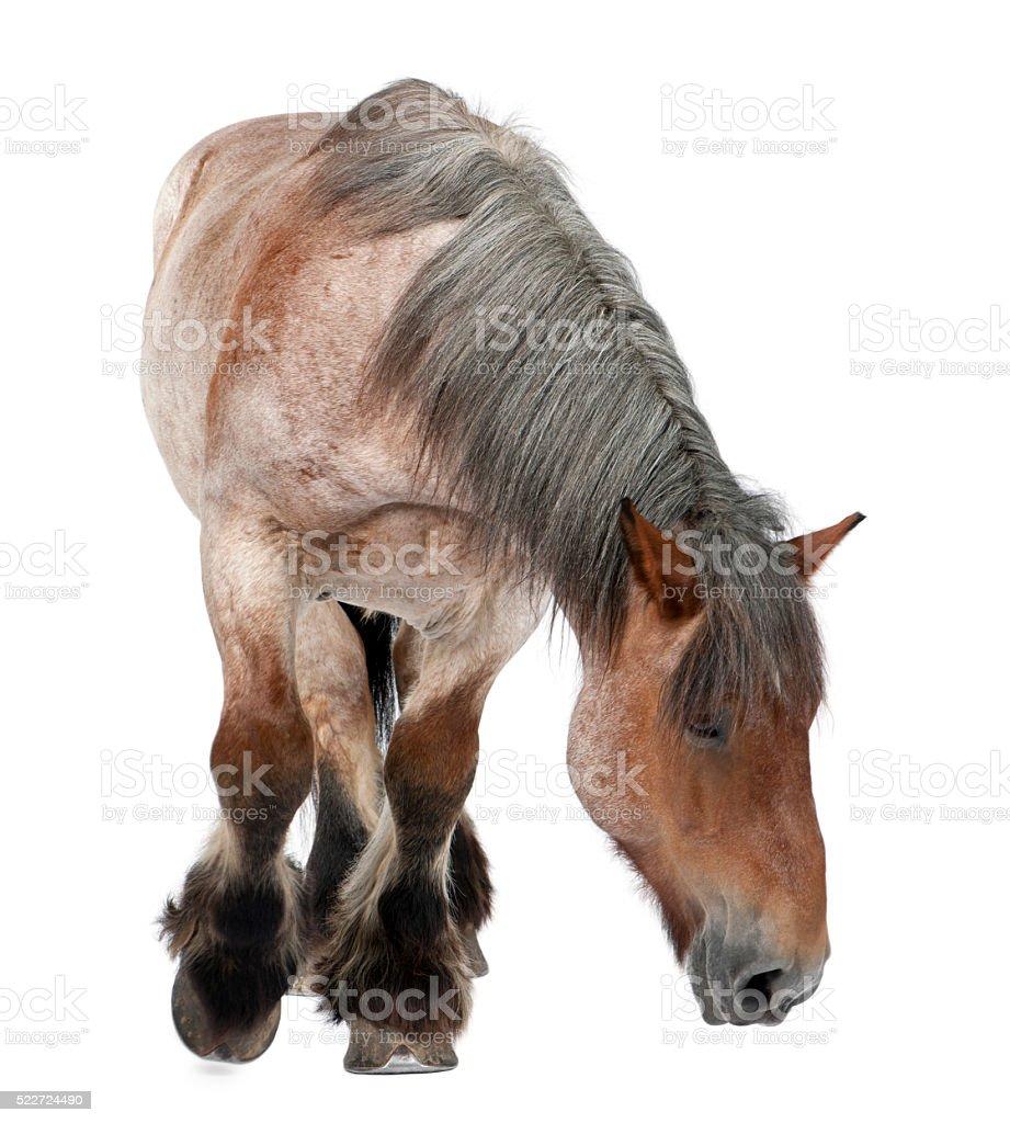 Belgian horse, Belgian Heavy Horse a draft horse breed standing stock photo