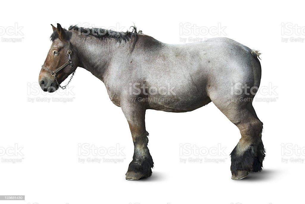 Belgian Horse or Brabant stock photo