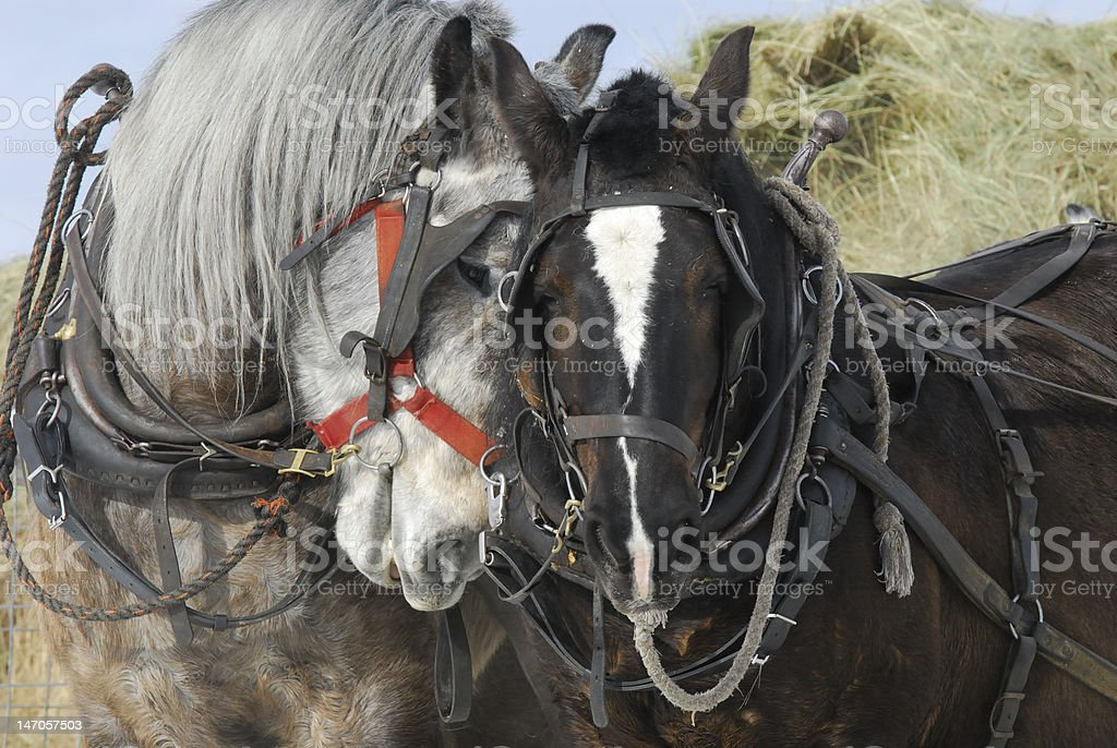 Belgian horses, feeding hay. stock photo