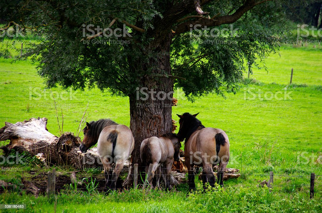 Belgian horses on a warm day stock photo