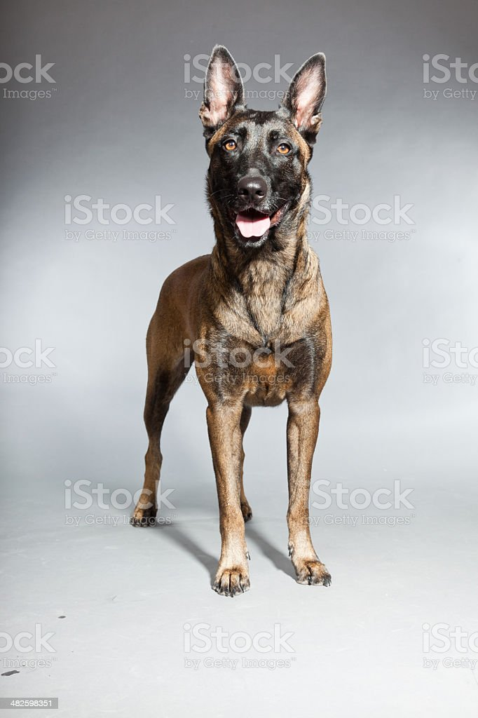 Belgian Malinois. Belgian Shepherd Dog. Studio against grey. stock photo