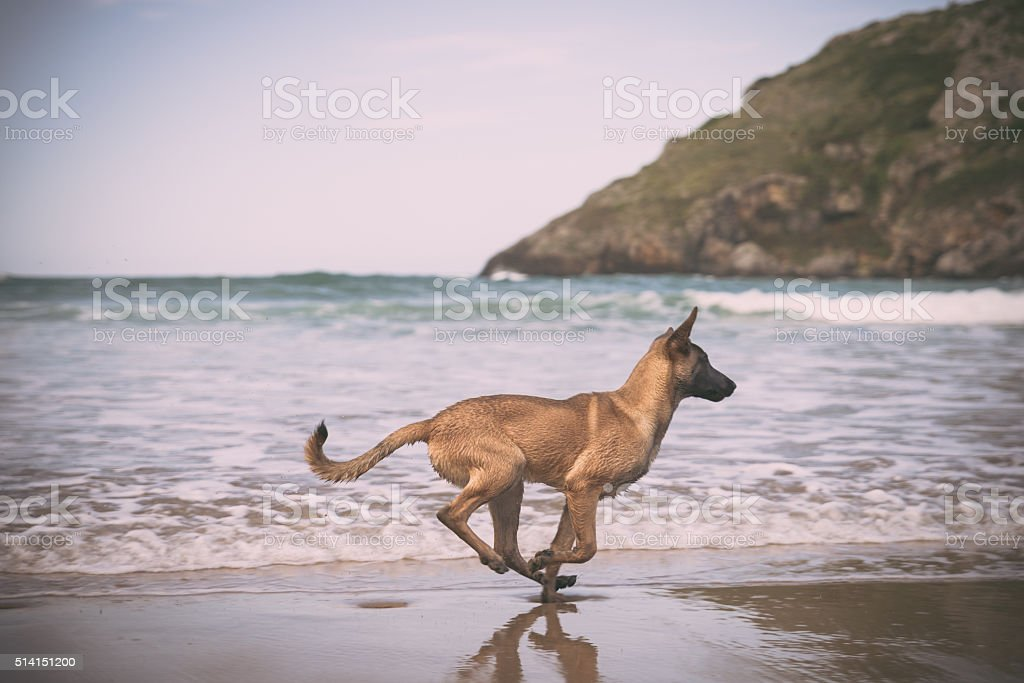 Belgian Malinois dog in the beach, sunny day stock photo