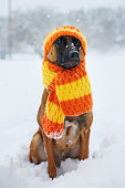Belgian Malinois sitting on snow in knitted scarf and hat