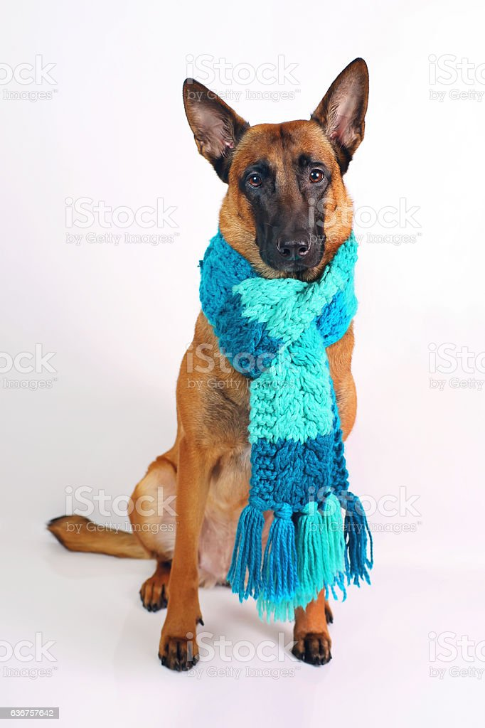 Belgian Malinois sitting on white background in blue knitted scarf stock photo