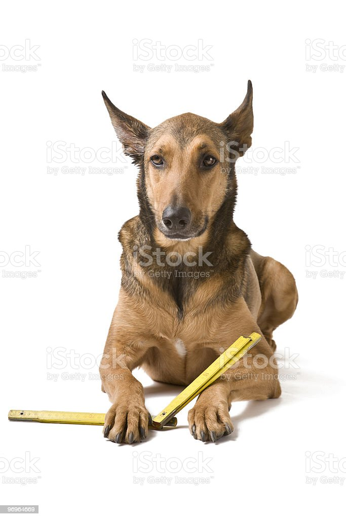 Belgian Malinois with Measurement instrument royalty-free stock photo