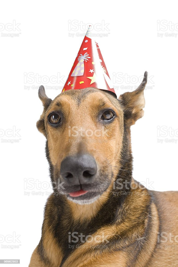 Belgian Malinois with party hat royalty-free stock photo