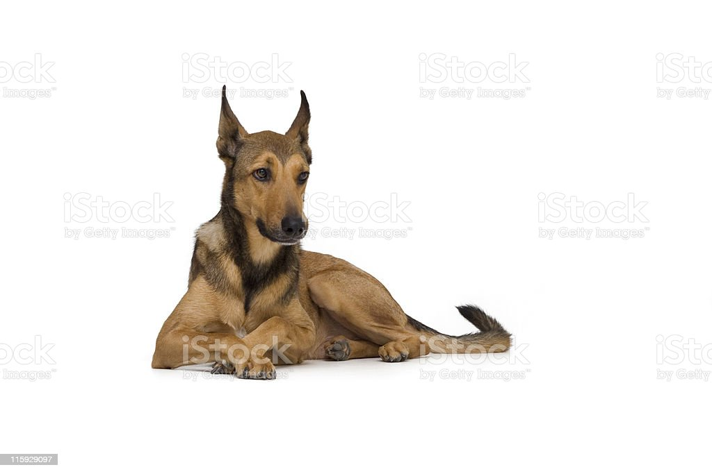 Belgian Sheepdog (Malinios) lying down royalty-free stock photo