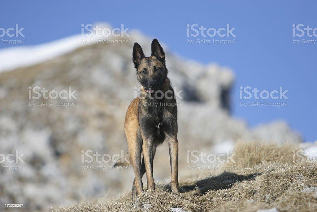 Belgian sheepdog stock photo