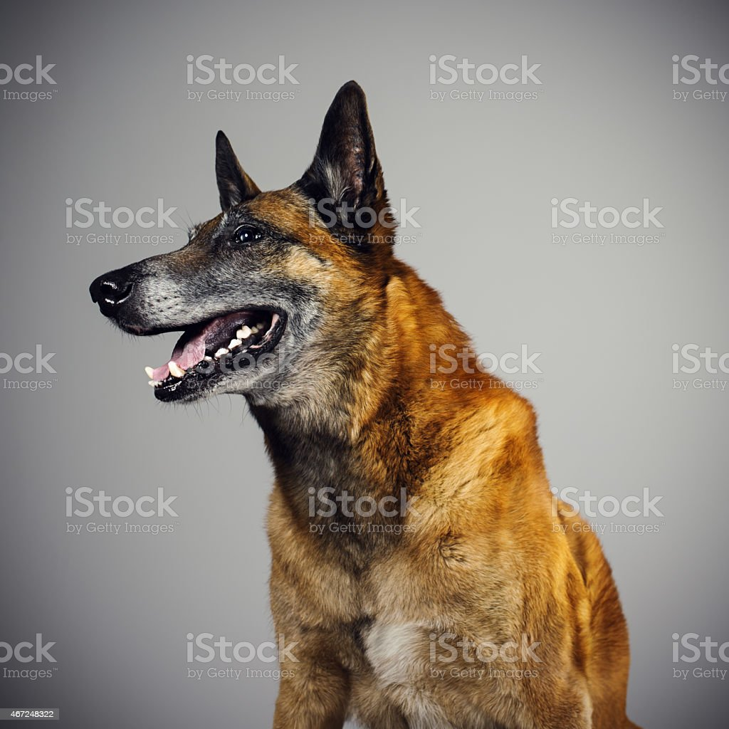 Belgian Sheperd Malinois dog portrait looking to the side. stock photo