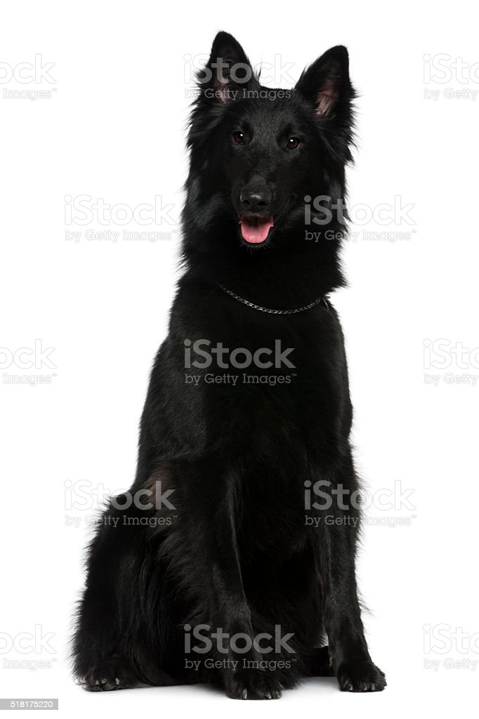 Belgian Shepherd dog, Groenendael, 21 months old, sitting stock photo