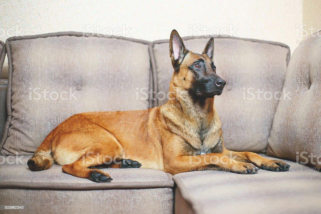 Belgian Shepherd dog Malinois lying on a sofa stock photo
