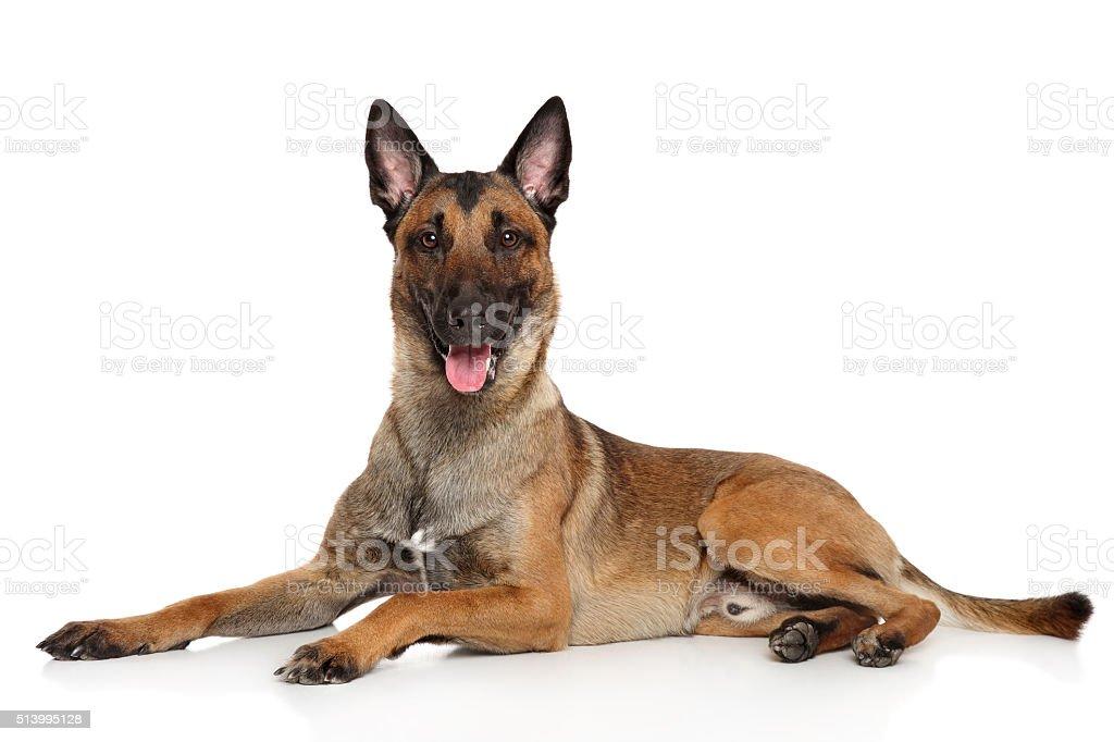 Belgian Shepherd dog Malinois stock photo