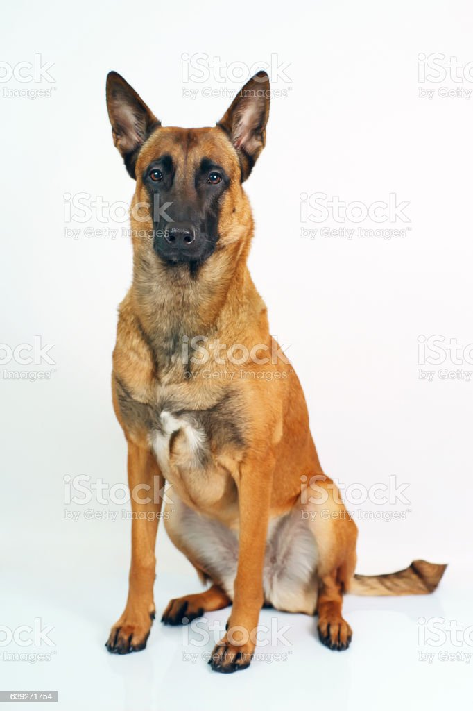 Belgian Shepherd dog Malinois sitting indoors on a white background stock photo