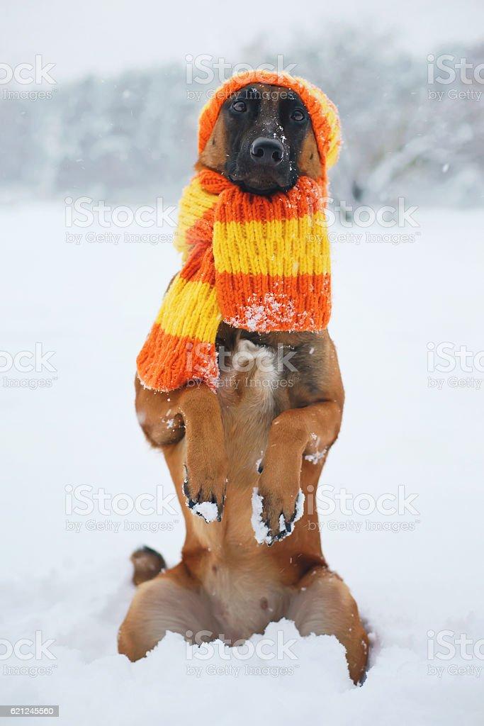 Belgian Shepherd dog Malinois sitting on hind legs on snow stock photo