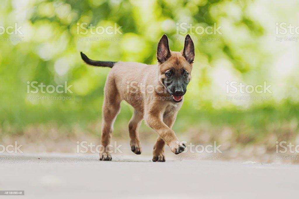 Belgian Shepherd Dog ( Malinois ) stock photo