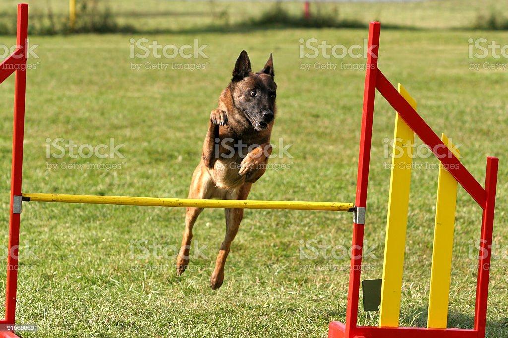 Belgian shepherd doing agility stock photo