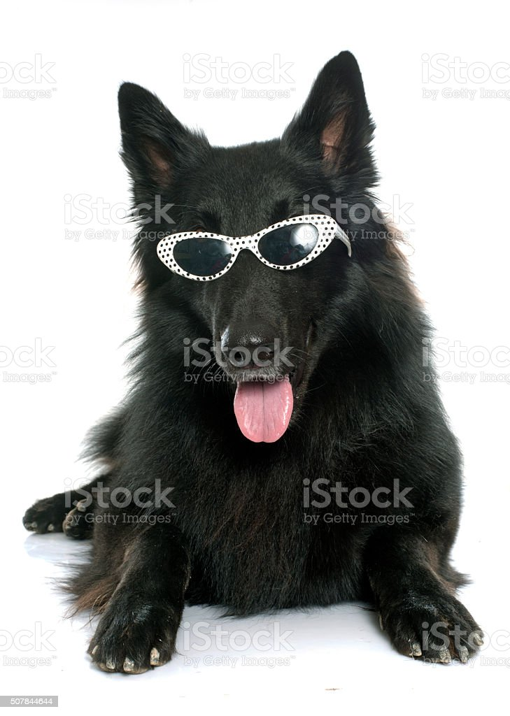 belgian shepherd Groenendael and glasses stock photo